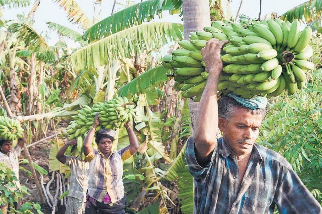 Komoditas Pertanian Yang Dihasilkan di India Saat Ini II
