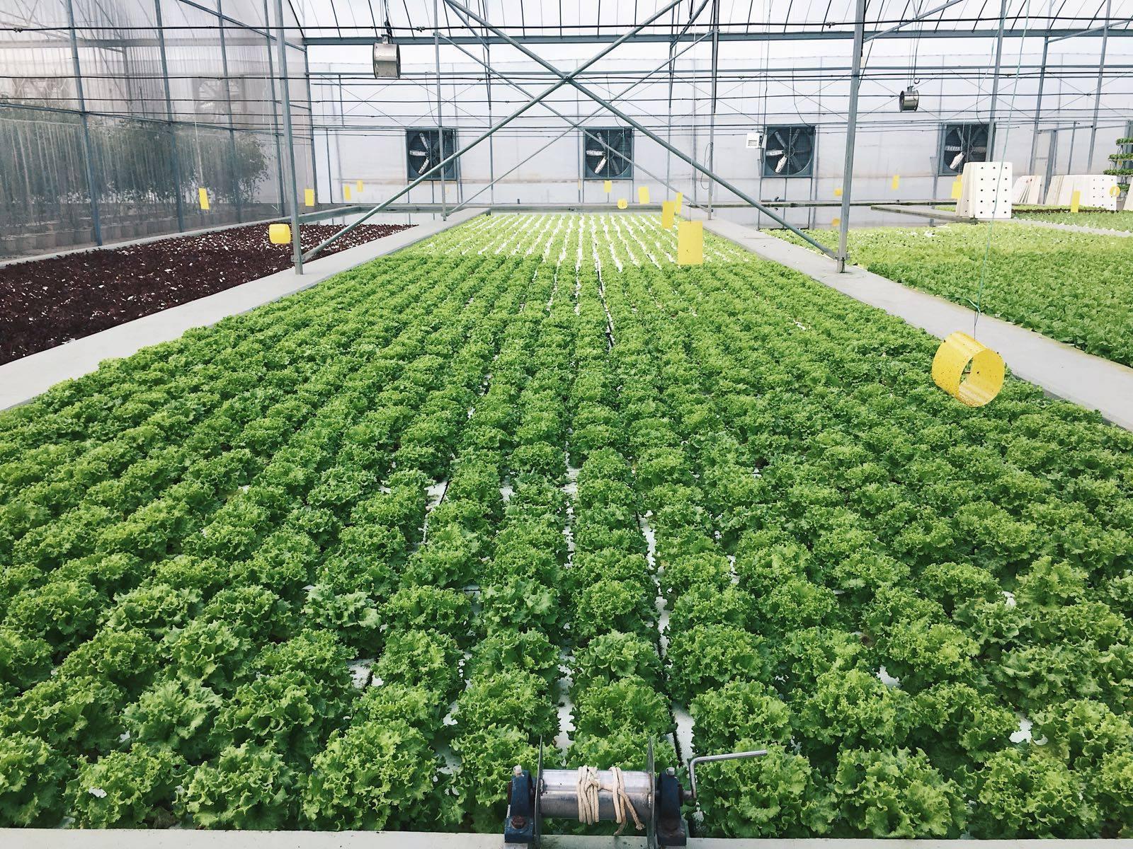 Perkebunan & Pertanian Sayuran Organik di Singapura II